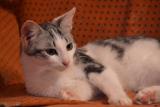 Феликс - кот с серебряным окрасом. Ищем дом.