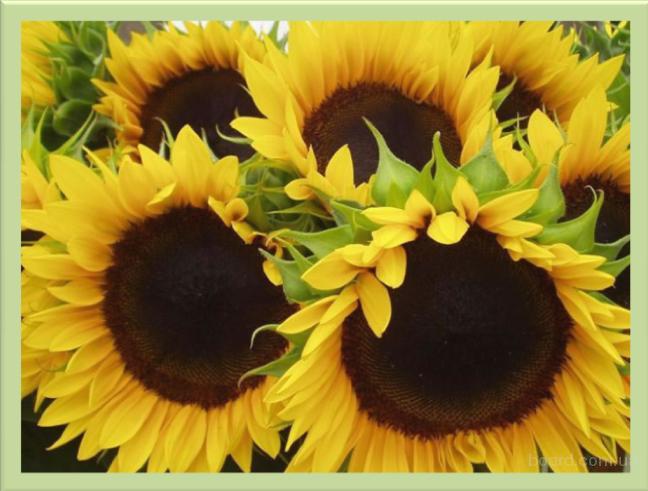 Семена подсолнечника Лимагреин гибриды Тунка, Мегасан, 5580, урожай 2014 года, импорт. Цена снижена!!!
