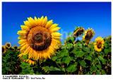 Подсолнечник. Семена подсолнечника импортные и отечественные гибриды купить в Харькове