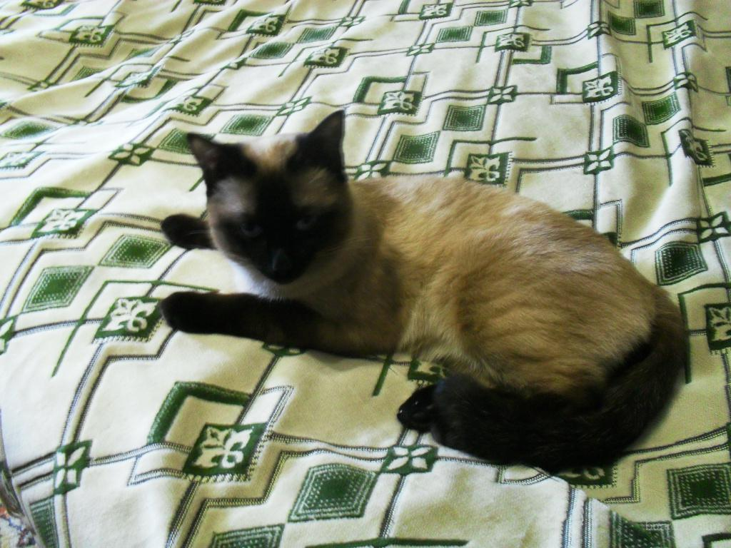 Приглашаем на вязку. Cиамский  кот.