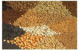 высокоурожайные импортные семена подсолнечника,ячменя,пшеницы,кориандра,гречихи,кукурузы
