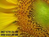 Семена подсолнечника, продам семена, гибриды подсолнечника от производителя
