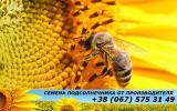 АФ Сады Украины реализует высококачественные семена гибридов подсолнечника урожая 2015 года