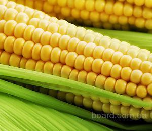 Насіння кукурудзи Солонянський 290 СВ
