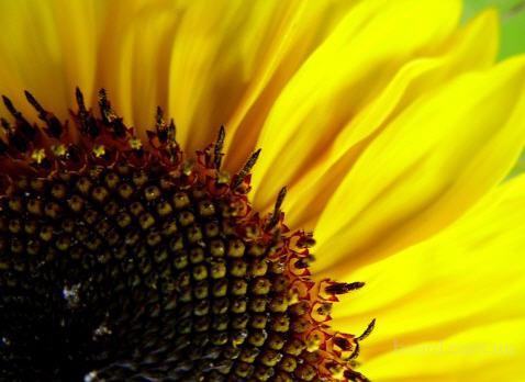 Насіння соняшника Перформер, Бонд (гранстаростійкий), Форвард, Ясон