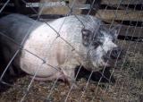 Поросята вьетнамской вислобрюхой породы свиней.