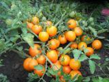 Семена коллекционных сортов овощей: помидоров, огурцов, тыквенные более 150 сортов урожайных томатов! Пересылка