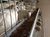 продм цыплят перепелов Техасский белый
