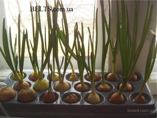 Цина.Домашняя гидропонная грядка Луковое Счастье, выращивание лука дома