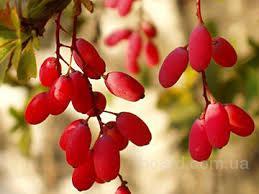 Барбарис, плоды