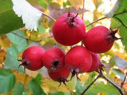 Боярышник, плоды