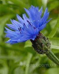 Василек, цвет