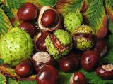 Каштан, плоды