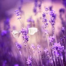 Лаванда, цвет