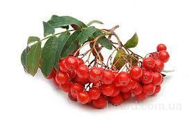 Рябина красная, плоды