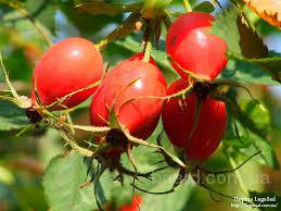 Шиповник, плоды