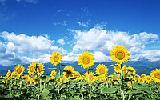 Куплю подсолнечник , лён , горчицу,просо,овес,гречиху,пшеницу,ячмень,кукурузу,рожь по Луганской области -