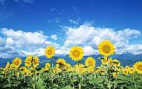 Куплю подсолнечник , лён , горчицу,просо,овес,гречиху,пшеницу,ячмень,кукурузу,рожь по Луганской области - регулярно