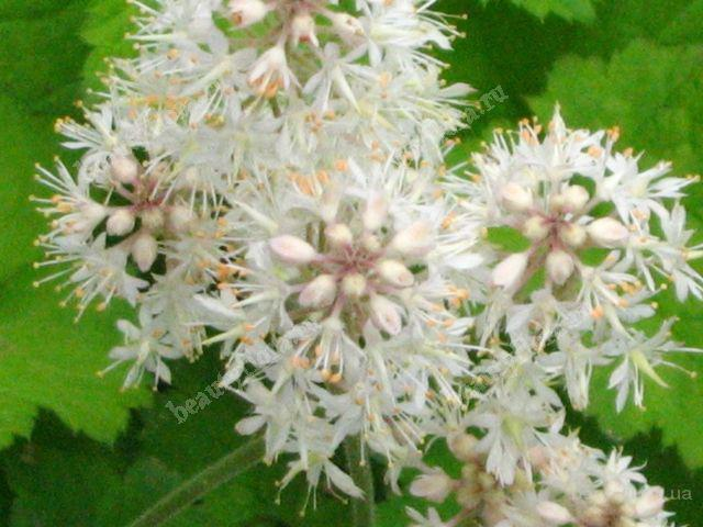 Тиарелла серцелистая -Tiarella cordifolia растение