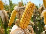 Пропонуємо насіння кукурудзи ВН 63 .