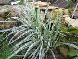 Райграс бульбоносный - (трава, злак) - растение
