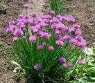 Шнитт-лук-Allium schoenoprasum-растения 10 шт