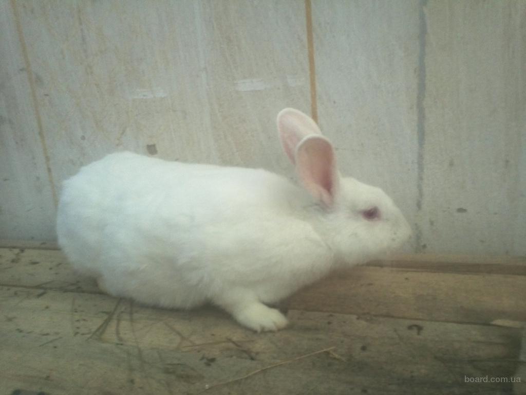 Продам кроликов Белый Панон