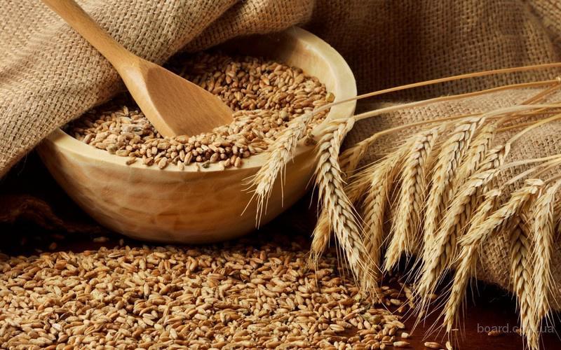 Зерно пшеницы и ячменя