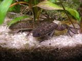 Аквариумные черные лягушки оптом. Надежная доставка по всей Украине