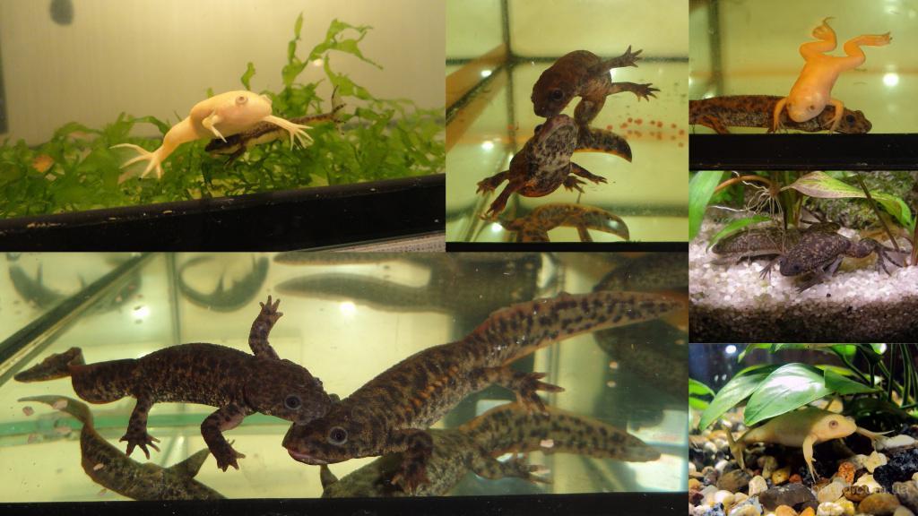 Комплект аквариумных животных: 2 тритона, 2 жел лягушки, 2 сер лягушки