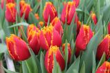 Тюльпаны оптом к 14 февраля, 8 марта!