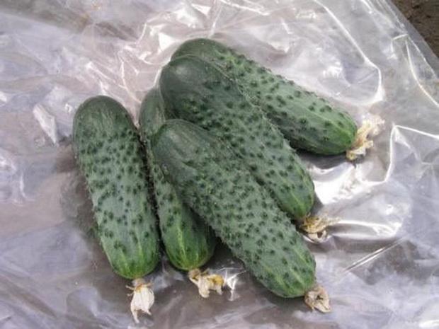 Продам семена Огурец Сатина F1 (Nunhems, Голландия)