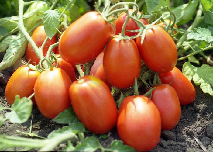 Продам семена Томат Рио Гранде (Sais Италия)
