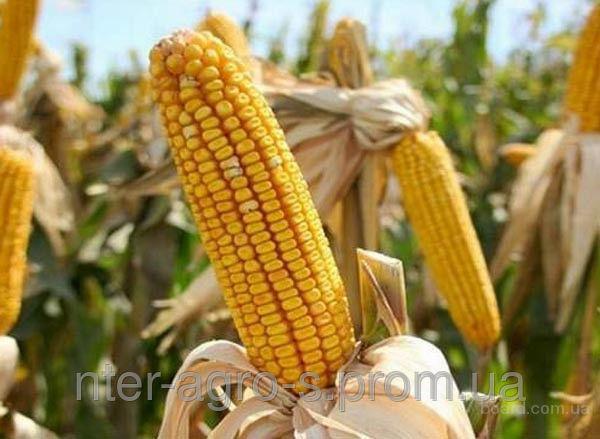 Насіння кукурудзи PR39D81