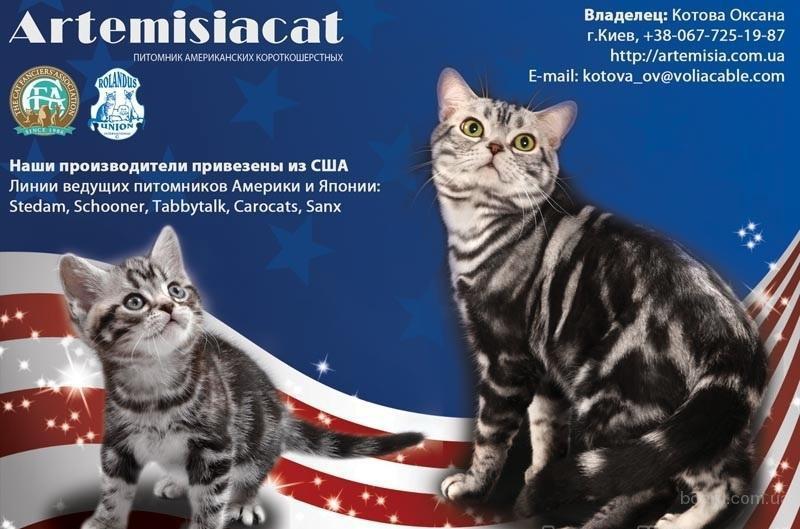 Продажа котят. Американские короткошерстные котята. CFA рег.