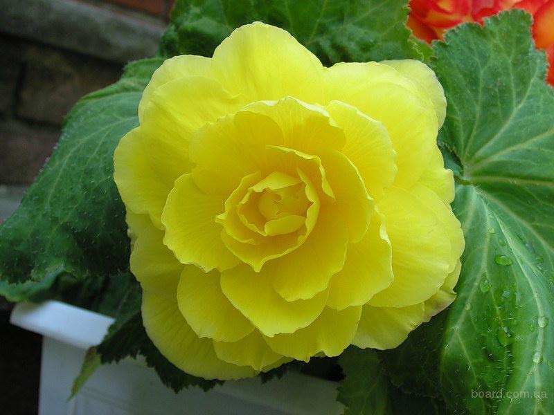Продам семена Бегония Желтая (Чехия)