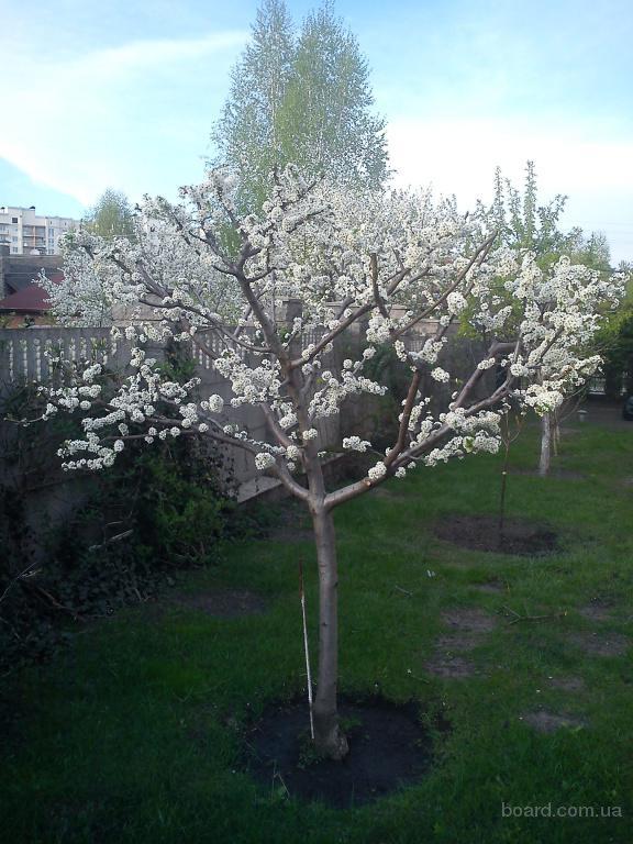 Обрізка плодових декоративних дерев та кущів