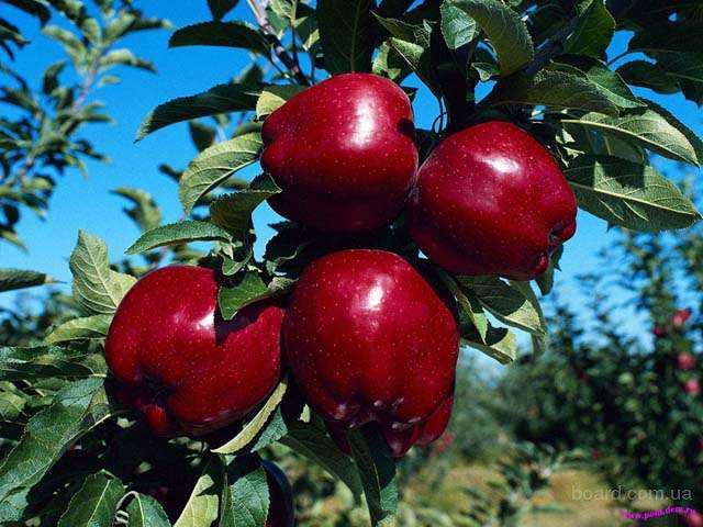 Польское яблоко от производителя оптом и в розницу.