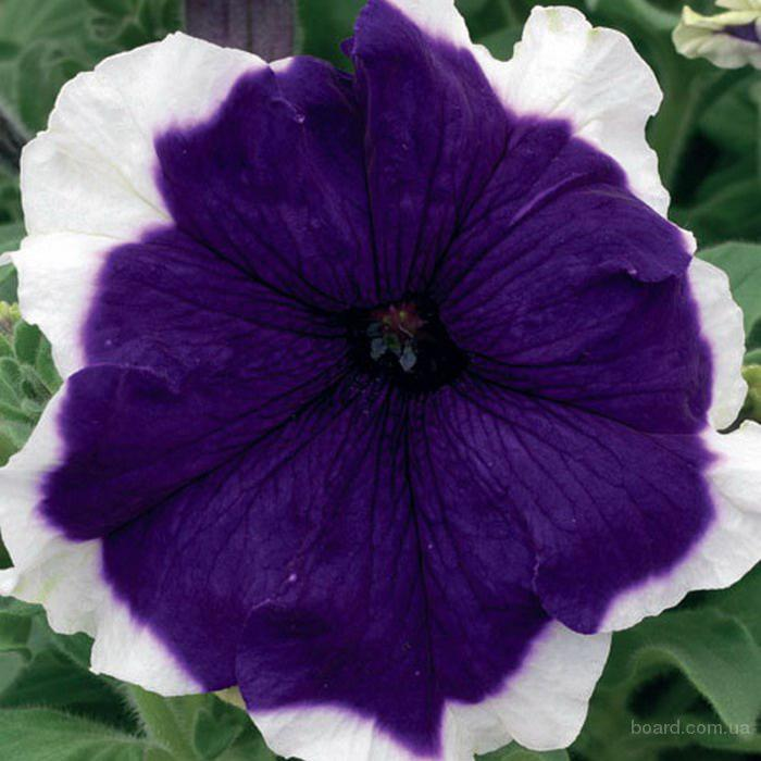Продам семена Петуния крупноцветковая низкорослая Фрост Модра F1