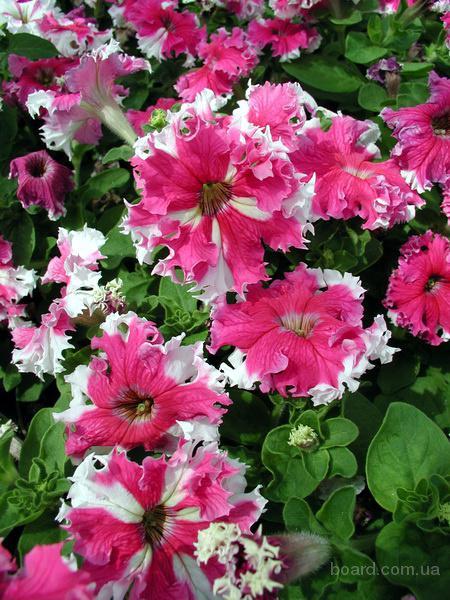 Продам семена Петуния крупноцветковая бахромчатая Каркулка F1