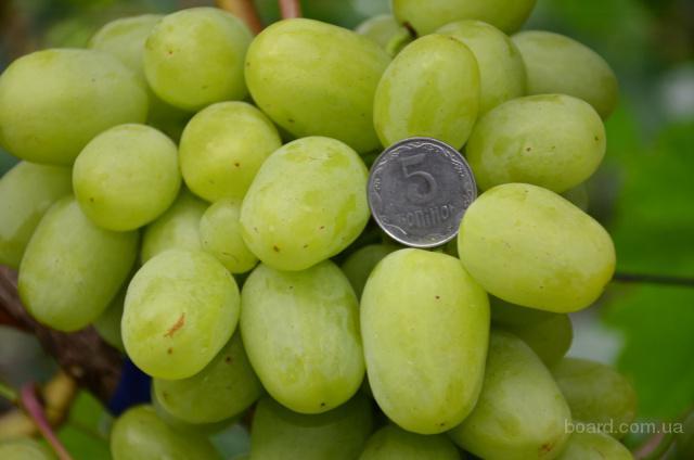 Продаж саженцов винограда