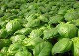 Продам семена Базилик Неаполитанский Гигант