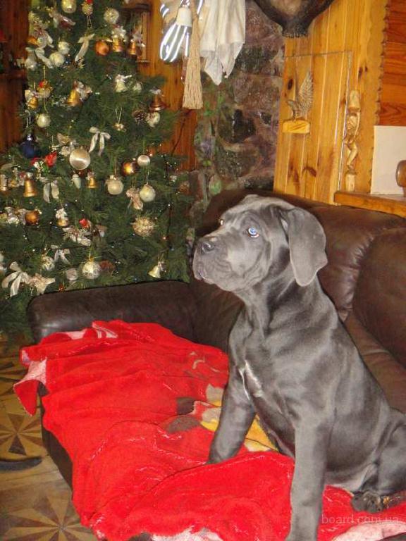 Голубой щенок Кане Корсо.