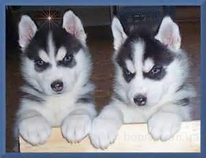 Сибирский хаски щенки доступных