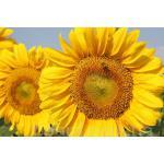 Предлагаем семена сахарной свеклы гибрид «Авторитетный»