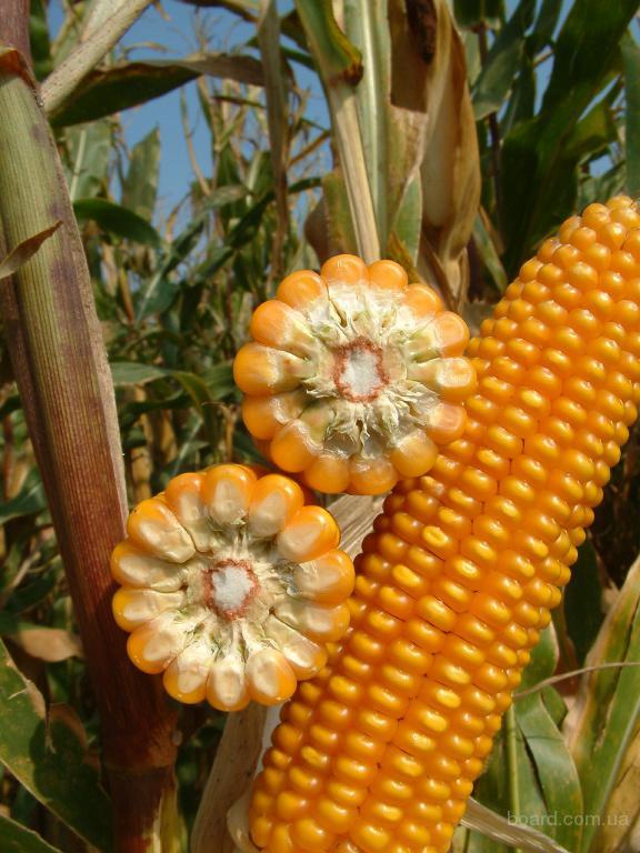 Насіння кукурудзи - Гран 6 (ФАО 300)