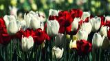 тюльпан к 8 марта