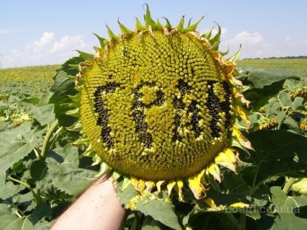 """насіння гібриду соняшника """"Нео""""(107-110 дн.)"""""""
