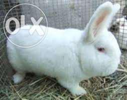 продам кролей нзб