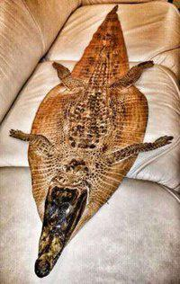 Продам кожу (шкуру) Крокодила Нильского